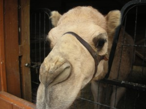 Chip the Camel